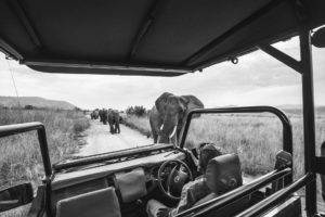 elephants on a Safari